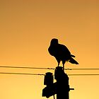 Goshawk on a Pole by Campbell Fleming
