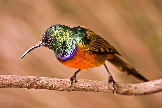 Orange-breasted Sunbird by Campbell Fleming