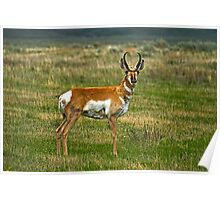 Pronghorn Poster