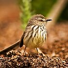 Karoo Prinia by Campbell Fleming
