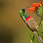 Sunbird II by Campbell Fleming