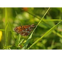 Small Pearl-bordered Fritillary Photographic Print