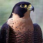 Peregrine Falcon by fatdade