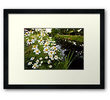 Camomiles in the park. Framed Print