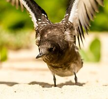 Baby Sooty Tern Finding His Wings by Stephen Quennell