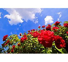 Roses and  Sky. Photographic Print