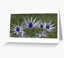 Cultivated Thistles Greeting Card