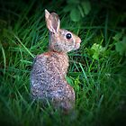 Cottontail by James  Birkbeck Animals