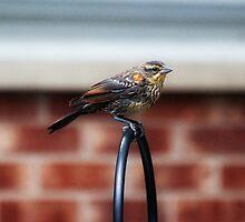 Pretty Bird by Jarede Schmetterer