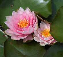 Pink Water Lilies by pcimages