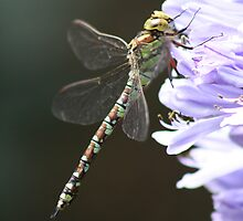 Dragonfly on Agapanthus by Philip Holley