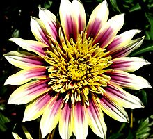 Gazania flower. by Marilyn Baldey
