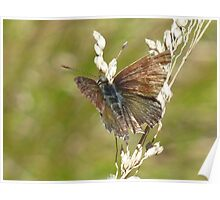 Fringed Heath Blue Butterfly Poster