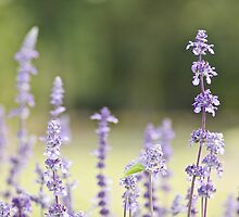 Lavender Not by Lloyd Lee