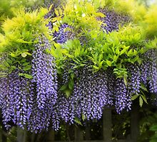A Wealth of Wisteria by Jessica Jenney
