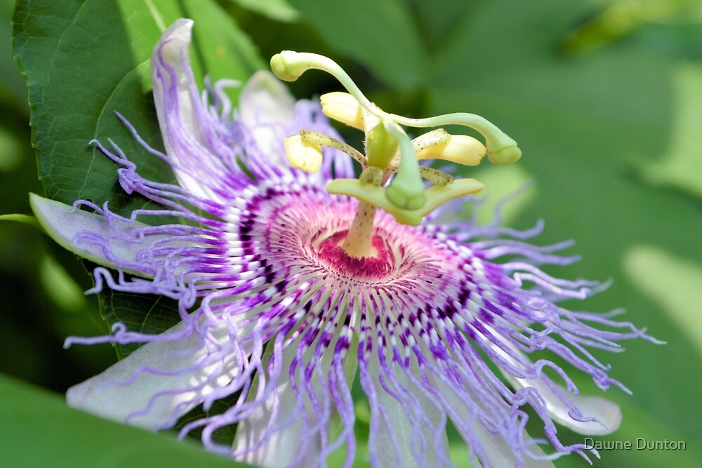 Wild Passion Flower by ©Dawne M. Dunton