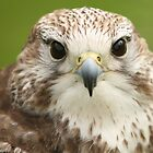 Lanner Falcon by Franco De Luca Calce