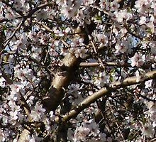 Almond Blossoms by Maryanne Lawrence