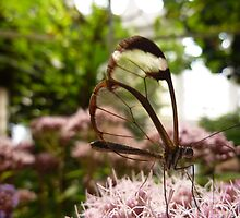 GLASSWING BUTTERFLY . by Lilian Marshall