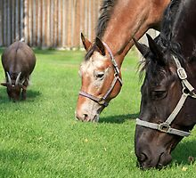 Two Horses and a Goat by Alyce Taylor