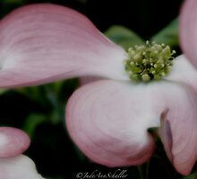 Dogwood by jusjudy