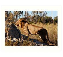 Morning hunt - Male Lion, Okavango delta Art Print