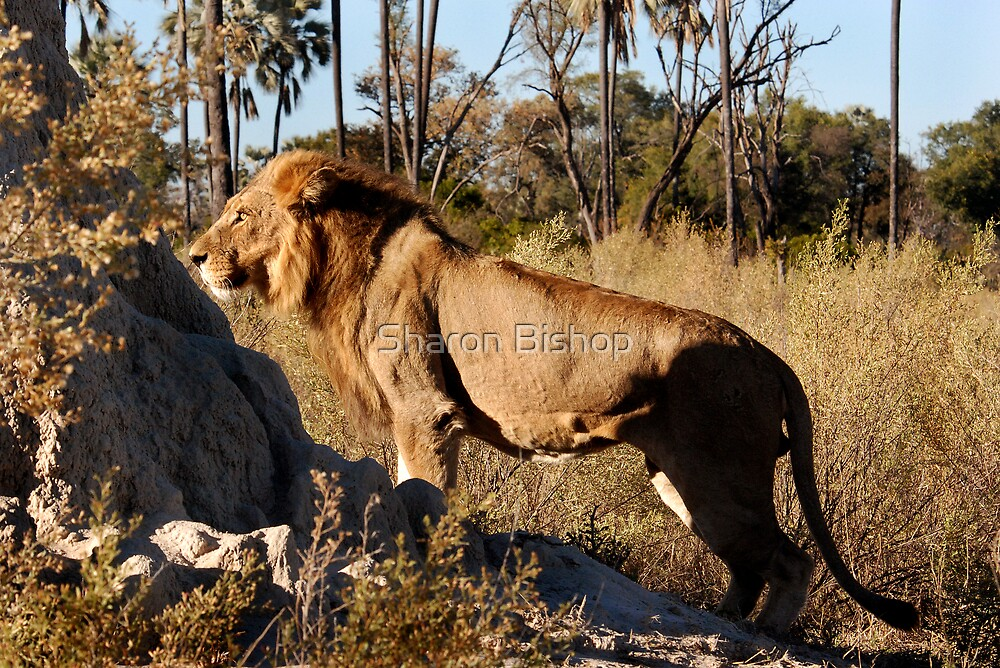 Morning hunt - Male Lion, Okavango delta by Sharon Bishop