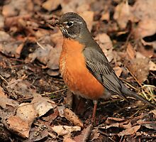 Robin Red Breast by Vickie Emms