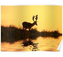 Fallow Deer (Dama dama) (1) Poster