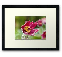 Red Pasque Flower Framed Print