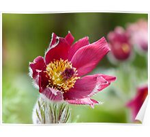 Red Pasque Flower Poster