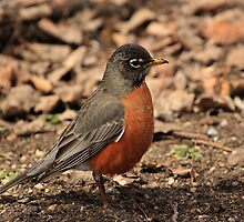 American Robin by Vickie Emms