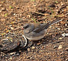 Slate Colored Junco by Vickie Emms