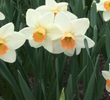 Daffodils, NYC Sticker