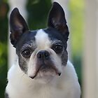 Boston Terrier by Karen Checca