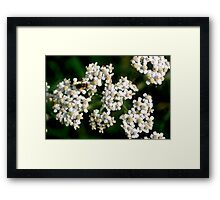 Achillea Millefolium with insect Framed Print