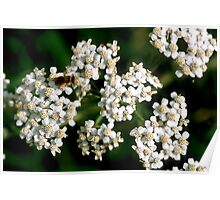 Achillea Millefolium with insect Poster