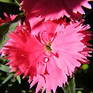 Dianthus by NancyC