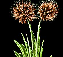 Fireworks Flora by cmlongworth