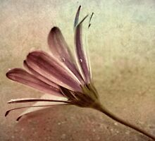 Dreamy by Trish Woodford