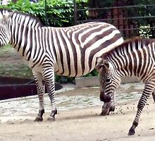 Zebras from the Berlin Zoo 2007 by Sherri Fink