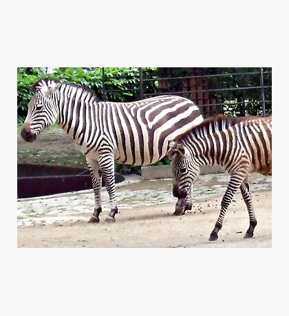 Zebras from the Berlin Zoo 2007 Photographic Print