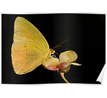 Clouded Sulphur Butterfly Poster