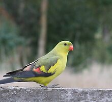 The Regent Parrot by Rick Playle