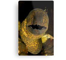 Yellow Edged Moray Metal Print
