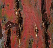 Eucalypt by Werner Padarin