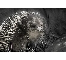 Echidna - just a-kidding around Photographic Print