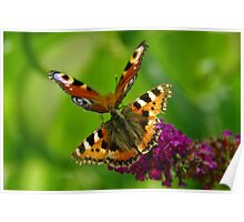 Red Admiral and Peacock Butterflies on purple Buddleia Poster