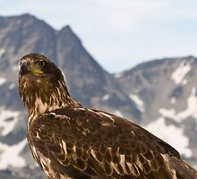 Eagle on the mountain by chwells