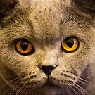 Ruby the British Blue cat aged one by Elana Bailey
